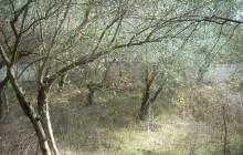 Verwilderter Olivenbaum Foto: Mouratidis
